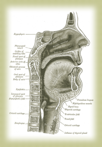 voice, vocal fold, vocal cords, pharynx, anatomy, alexander technique